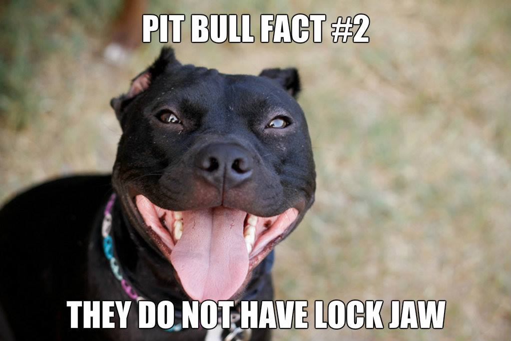 lock jaw pitbull